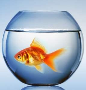 Evolutie goudvis